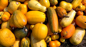 Zucca di autunno selezionata harvest_4 Fotografia Stock Libera da Diritti