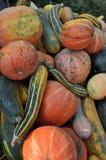 Zucca di autunno selezionata harvest_7 Fotografie Stock Libere da Diritti