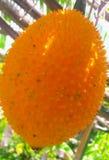 Zucca di Cochinchin della frutta di Gac Fotografia Stock