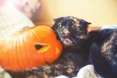 Zucca di Halloween di holda del gatto con il fronte aggressivo Immagini Stock Libere da Diritti