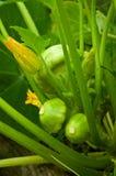 Zucca di Pattypan Fotografia Stock Libera da Diritti
