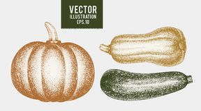 Zucca e zucchini Illustrazioni disegnate a mano della verdura di vettore Vegetariano d'annata dell'incisione Può essere l'uso per Fotografia Stock