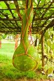 Zucca a fiaschetta sulla loro pianta Fotografia Stock Libera da Diritti