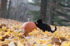 Zucca, gatto nero e foglie di caduta nel legno Immagine Stock Libera da Diritti