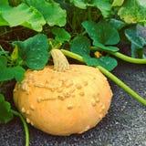 Zucca gialla nel giardino di autunno Immagini Stock Libere da Diritti
