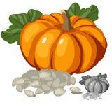 Zucca matura ed i suoi semi, verdure di vettore illustrazione vettoriale