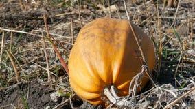 Zucca matura su un campo in autunno stock footage