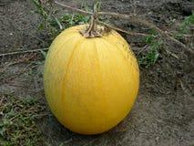 Zucca nel campo per Halloween fotografie stock libere da diritti