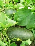Zucca nel giardino fotografie stock libere da diritti