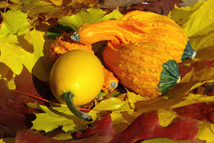 Zucca ornamentale Fotografie Stock