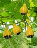 Zucca ornamentale sul suo albero Fotografia Stock Libera da Diritti