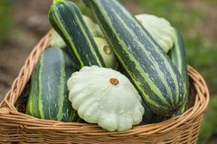 zucca pattypan e bianca, cucurbita pepo e zucchini immagine stock