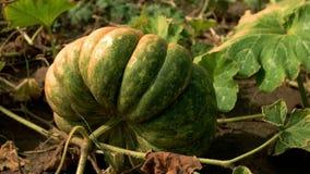 Zucca verde che matura nel giardino video d archivio
