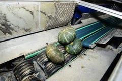 Zucca verde sul nastro trasportatore Immagine Stock Libera da Diritti