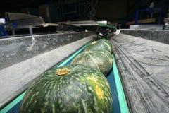 Zucca verde sul nastro trasportatore Fotografia Stock
