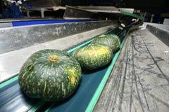 Zucca verde sul nastro trasportatore Immagini Stock Libere da Diritti