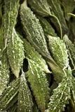 Zucche amare di Karela su visualizzazione Fotografia Stock Libera da Diritti