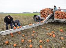 Zucche arancio del raccolto della famiglia degli agricoltori sul campo nella provincia di Groningen nei Paesi Bassi Immagini Stock