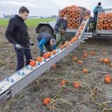 Zucche arancio del raccolto della famiglia dell'agricoltore sul campo nella provincia di Groningen nei Paesi Bassi Immagine Stock