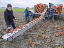 Zucche arancio del raccolto della famiglia dell'agricoltore sul campo nella provincia di Groningen nei Paesi Bassi Fotografie Stock