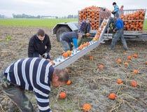 Zucche arancio del raccolto della famiglia dell'agricoltore sul campo nella provincia di Groningen nei Paesi Bassi Fotografia Stock