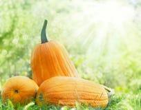 Zucche arancioni Fotografie Stock