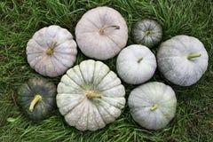 Zucche bianche su erba verde, raccolto di autunno Fotografia Stock