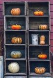 Zucche Curvy dell'azienda agricola di giallo arancio di forma in scatole di legno sullo scaffale del mercato Immagini Stock