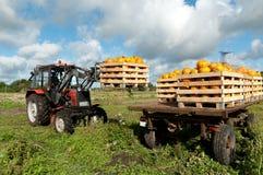 Zucche di caricamento del trattore Immagine Stock
