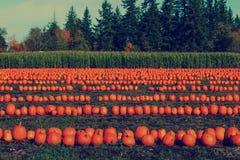 Zucche di Halloween in una toppa della zucca Immagini Stock Libere da Diritti