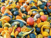 Zucche e raccolto della zucca Fotografie Stock