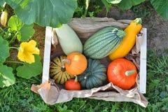 Zucche e scatola del raccolto delle zucche Fotografie Stock