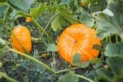 Zucche fresche nel campo Belle zucche che crescono nel campo Fotografia Stock Libera da Diritti
