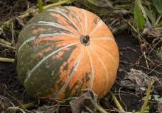 Zucche mature che si trovano sulla terra nella caduta, raccolto, autunno, Fotografie Stock