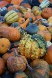 Zucche miniatura fresche e naturali Fotografia Stock Libera da Diritti