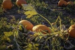Zucche nel campo fotografia stock