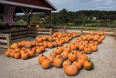 Zucche raccolte da una toppa della zucca, Gainesville, GA, U.S.A. immagine stock