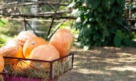 Zucche raccolte fresche di autunno sul trasporto in azienda agricola immagini stock libere da diritti