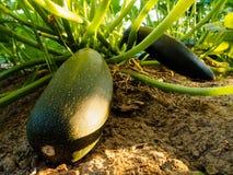 Zucche verdi in orto Fotografie Stock Libere da Diritti