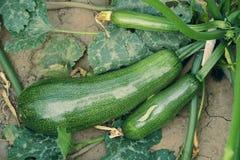 Zucchina Fotografia Stock Libera da Diritti