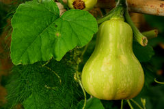 Zucchina centenaria, attaccatura del sechium edule Immagine Stock Libera da Diritti