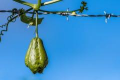 Zucchina centenaria una verdura a forma di pera anche conosciuta come il ChoCho fotografia stock libera da diritti
