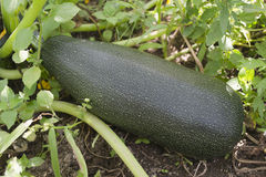 Zucchini; Zdjęcie Stock