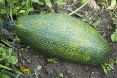 Zucchini; Fotografia Stock