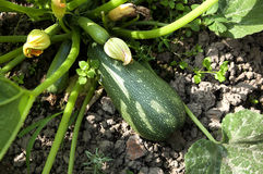 Zucchini stockfotos