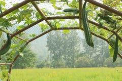Zucchini obrazy royalty free