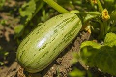zucchini Stock Foto