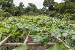 zucchini Royalty-vrije Stock Afbeeldingen