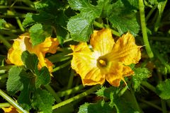 Zucchini is blooming in the garden. Close-up royalty free stock images