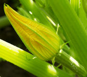 Zucchini blossoms Royalty Free Stock Images